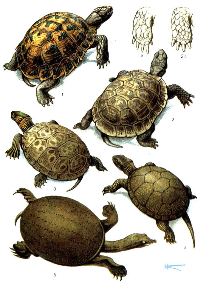 Каспийская черепаха