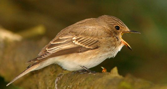 фото птицы мухоловки
